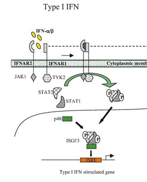 IFN pathway produces interferons but also inhibits the production of KC and Mip2