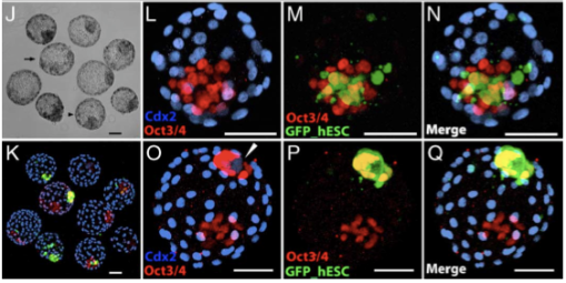 A  majority of embryonic chimeras generated from morula aggregation showed localization of hESCs (green in panels K, M, and N) to host ICM with retention of Oct-3/4  (red in K–N) and absence of Cdx2 (blue in panels K, L, and N).
